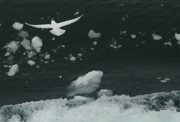A startled snow petrel escapes
