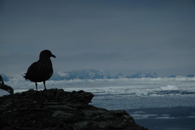 Skua, Cumberland Bay behind