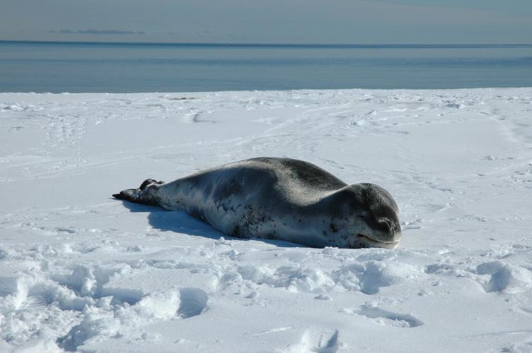 Leopard seal sleeps on the sea ice