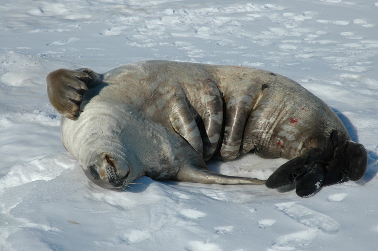 Crabeater seal scratching on the sea ice