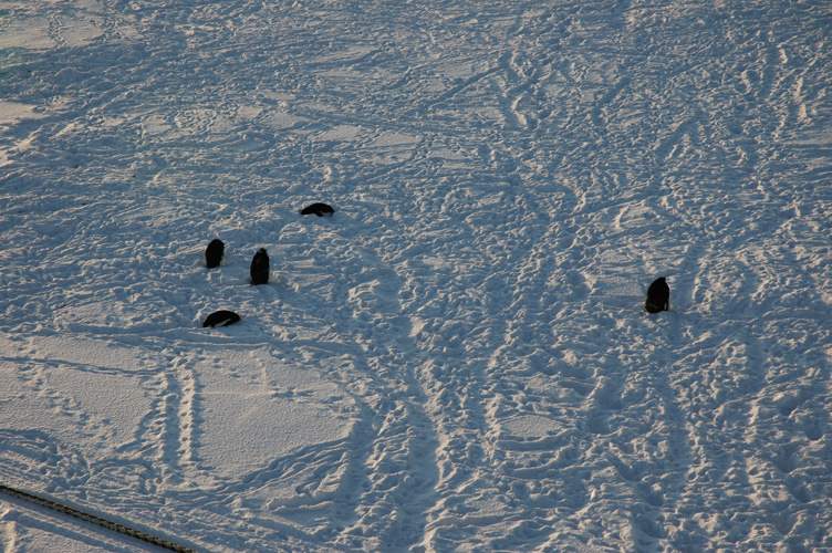 Penguins shelter on the ice shelf