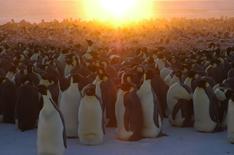 The sun rises behind the emperor penguin colony, a huddle in the center is picked out in soft grey