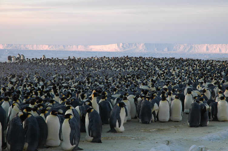 Many more penguins occupy the colony now that most mothers have returned