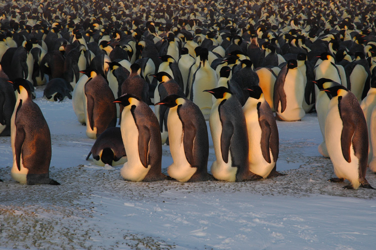 A queue of penguins walk around the colony