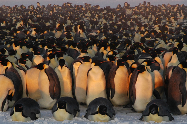Four emperor penguins bask in the sun's rays