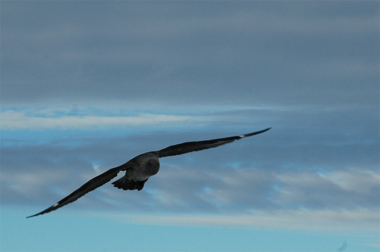 A Skua threatens the moulting emperor chicks