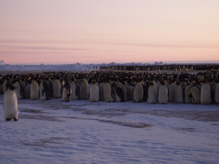 Emperor penguins with brash ice behind