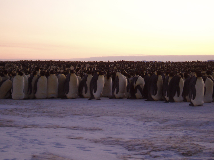 Emperor penguins protecting eggs