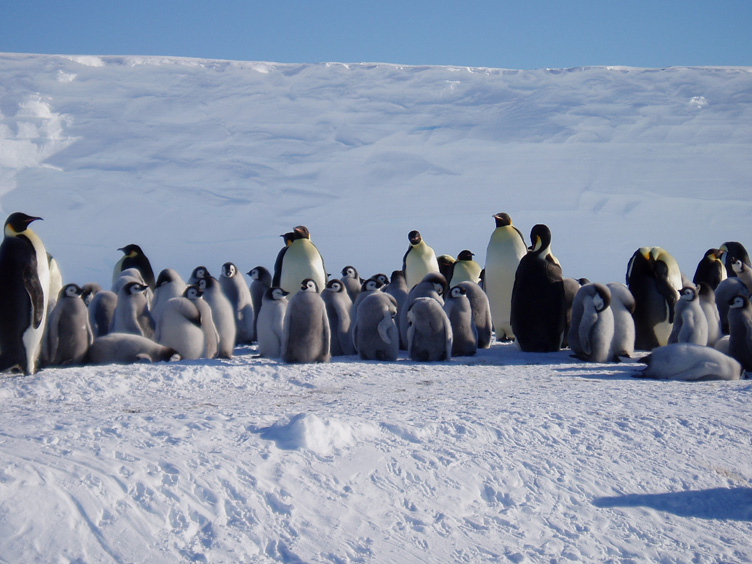 Creche of emperor penguin chicks