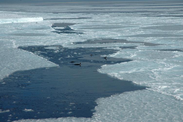 Penguins cavort amongst rafts of fresh ice