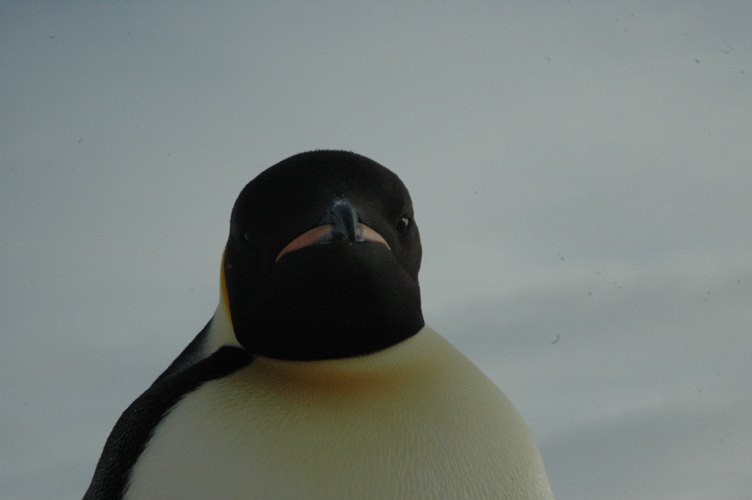 Emperor penguin stares me out