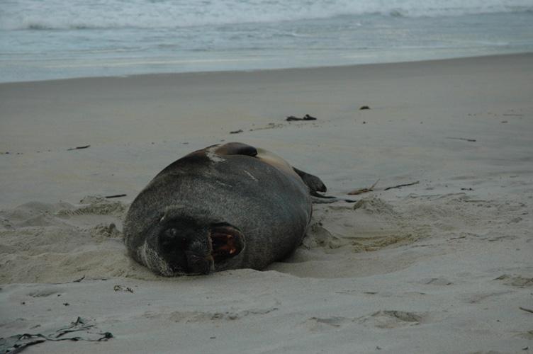 Sand sea-lion