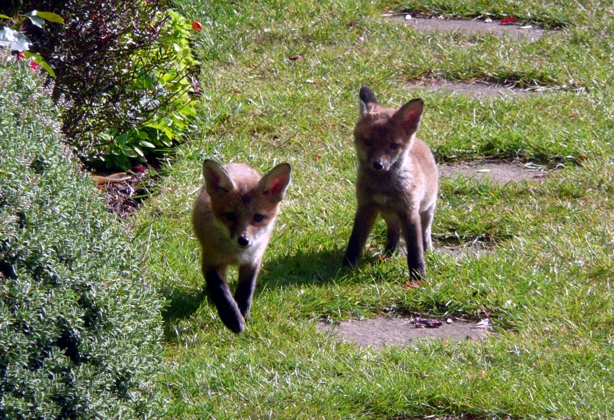 Two fox cubs stalking each other