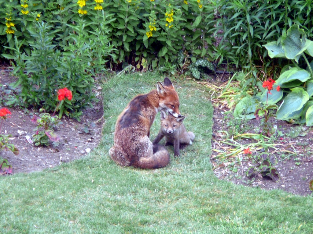 Vixen with cub by scruff of neck, cub staring at camera