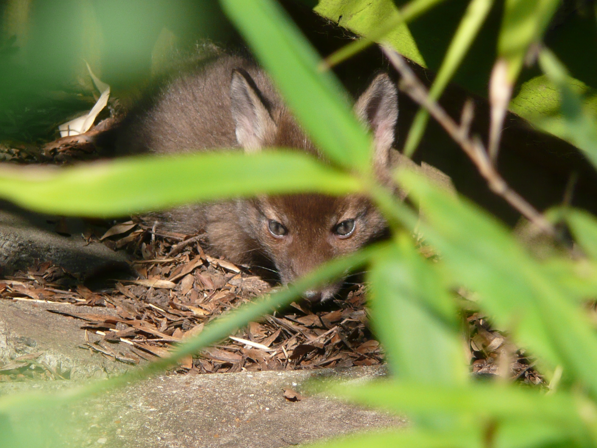 Close-up of small fox cub hiding under a plant